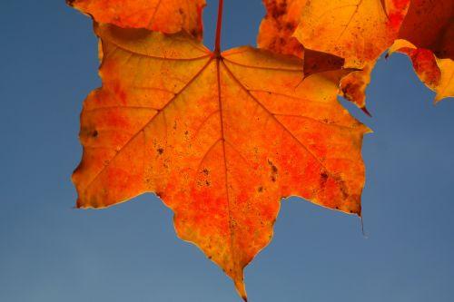 leaf maple leaf autumn