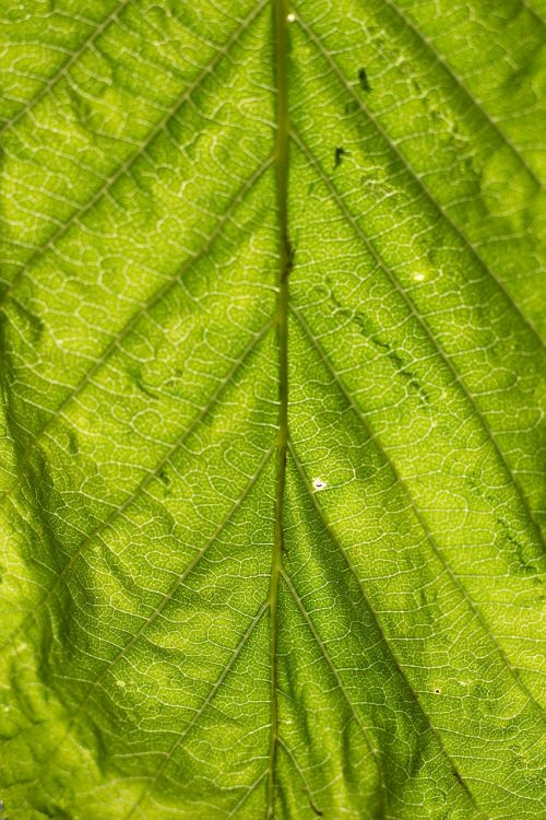 leaf structure green