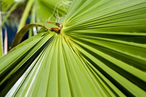 leaf palm leaf fan palm