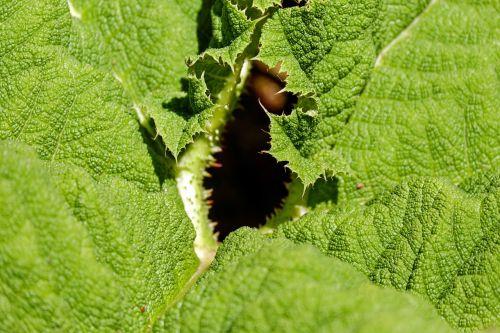 leaf mammoth sheet green