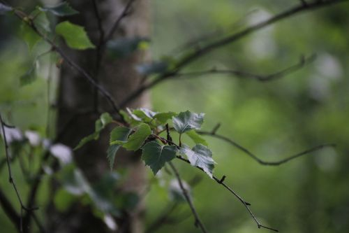 leaf birch nature