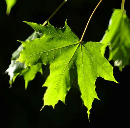 leaf clone green