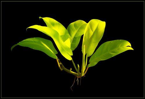 leaf green leaf leaves