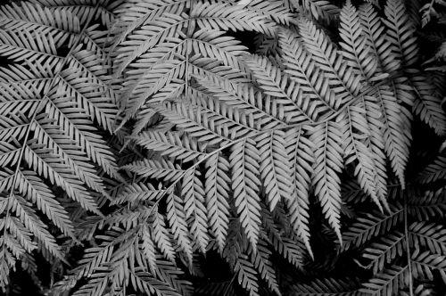 leaf black and white fern