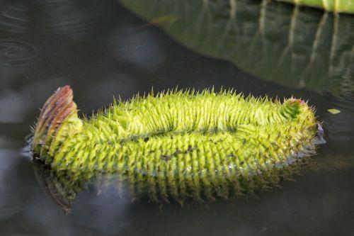 蓮 leaf aquatic plants summer