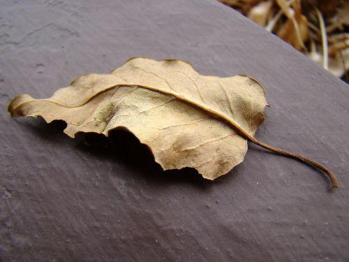 leaf dry leaf autumn