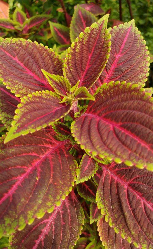 leaf reddish plants