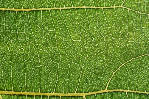 leaf fig leaf structure
