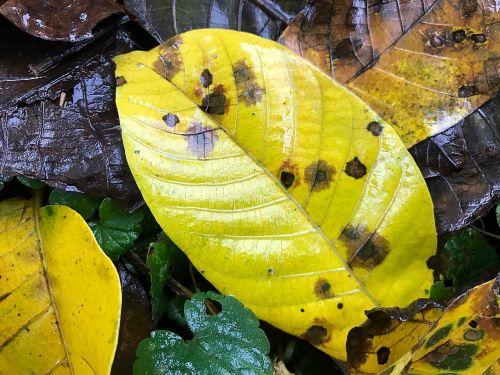 leaf autumn wet
