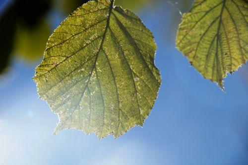 leaf back light soft light