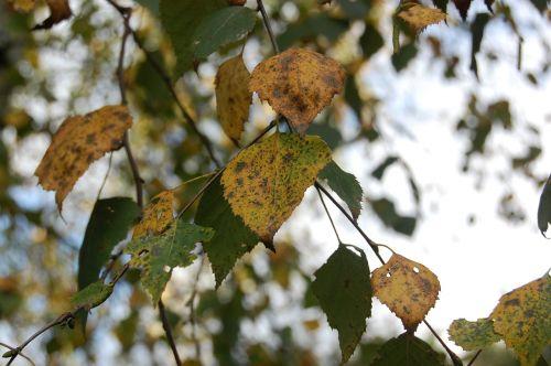leaf autumn leaves