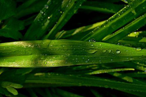 leaf green rosa
