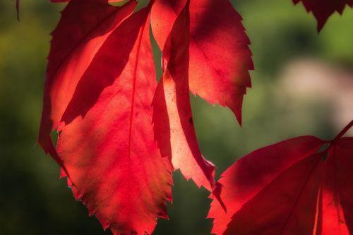 leaf red lichtspiel