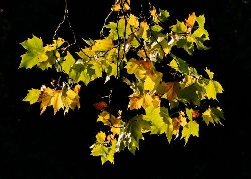 leaf fall autumn leaf