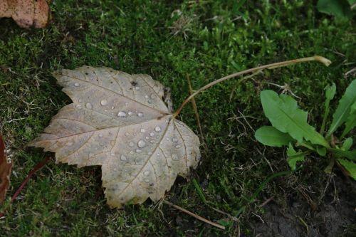 leaf maple leaves dead leaf