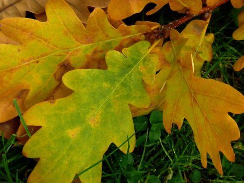 leaf oak oak leaf