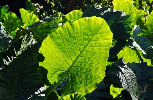 leaf tropical plant green
