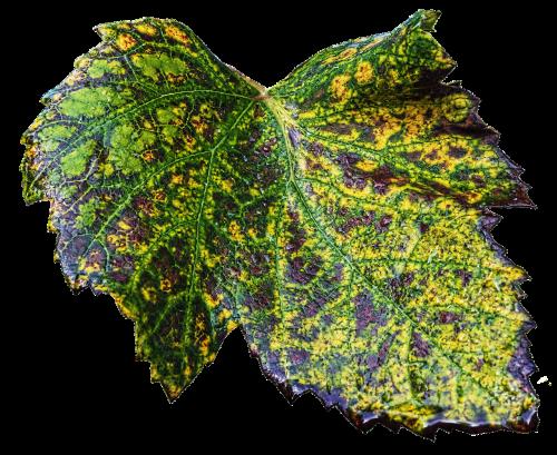 leaf wine leaf autumn leaf