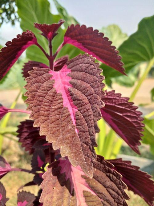lapai,lapai,atspalvių,violetinė,rožinis,augalas,medis,gamta,fonas,dėmesio,priartinti,Iš arti,lapai su atspalviu,raudona,tamsiai rudas,tamsiai rožinė