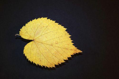 leaf lipa yellow