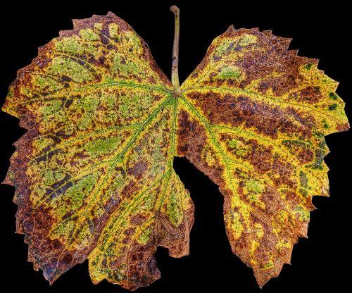 leaf autumn vine