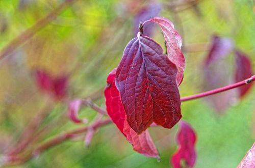 leaf red fall