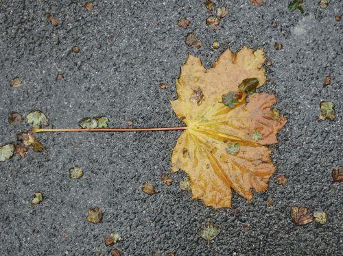 leaf asphalt wet