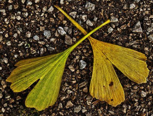 leaf gingko leaf gravel road