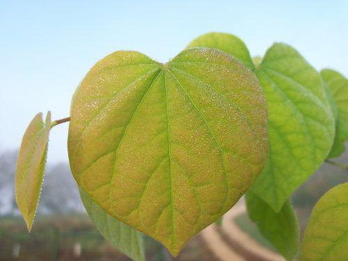 leaf dew leaves
