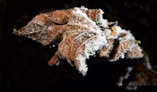 leaf frozen frost