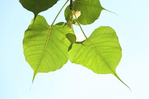 leaf flora nature