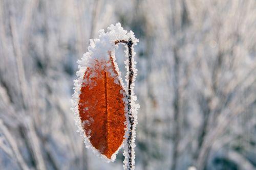 leaf ice crystals