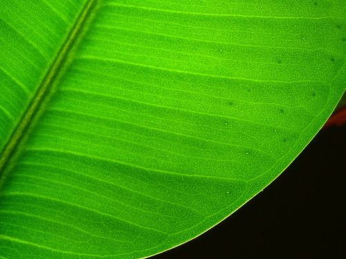 leaf plant lived