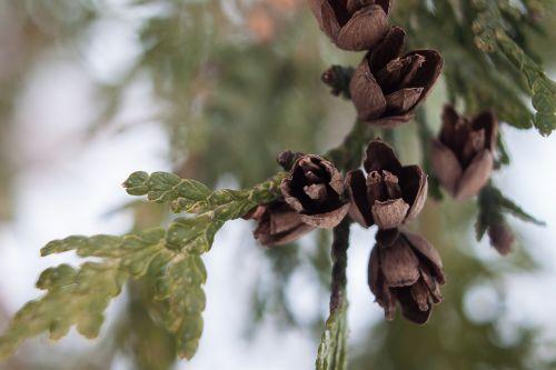 leaf thuja occidentalis tree