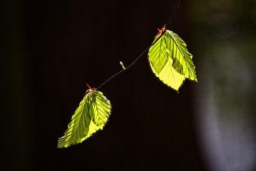 leaf  foliage  twig