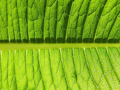 leaf  plant  ecology