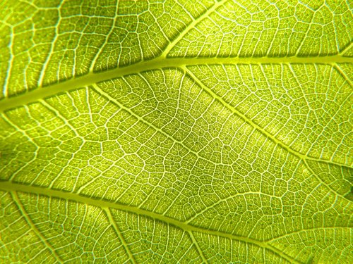 leaf  plant  photosynthesis