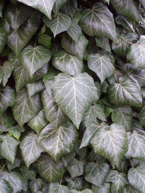 leaf  plant  ivy