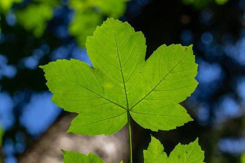 leaf  maple  mountain-maple