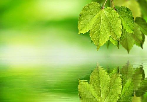 leaf  maple  green