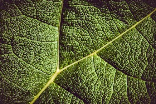 leaf  giant rhubarb  mammoth sheet
