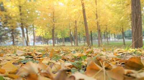 leaf  ginkgo  autumn