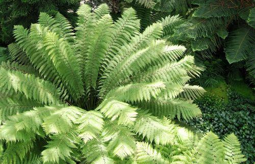 leaf green fern