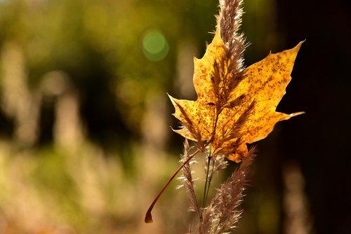 leaf  maple leaf  leaves