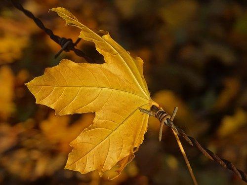leaf  barbed  hooked