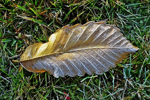leaf  frost  nature