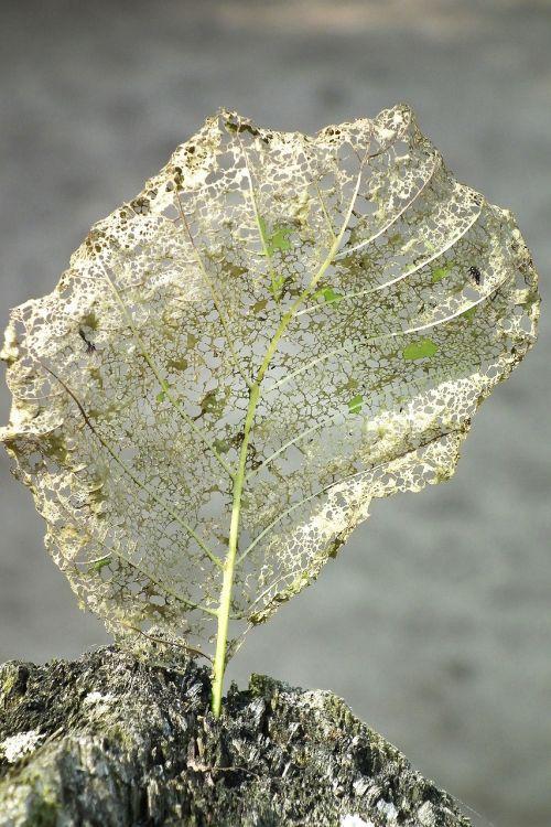leaf eaten on chip away