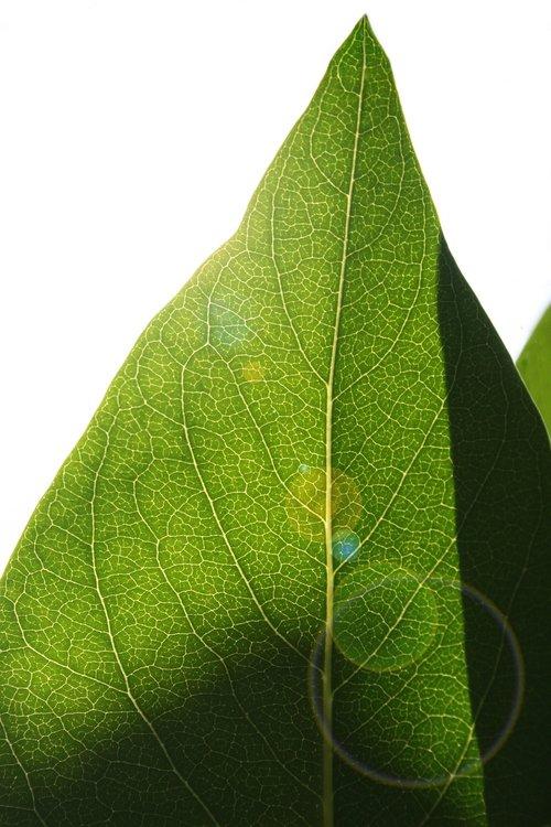 leaf  backlighting  structure