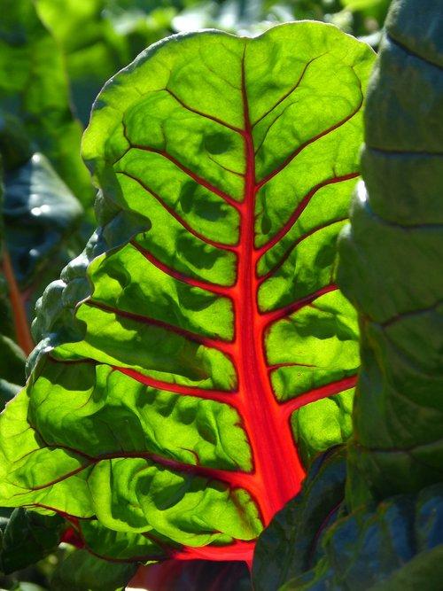 leaf  beauty  chard