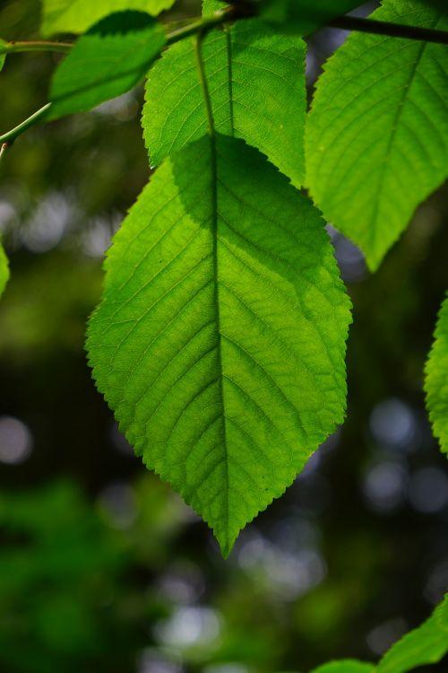 leaf leaf ribs hornbeam